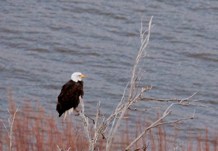 Bald Eagle (420) (1024x712)