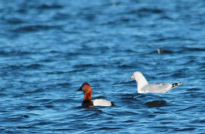 Canvasback, Ring-billed Gull (2) (1024x674)