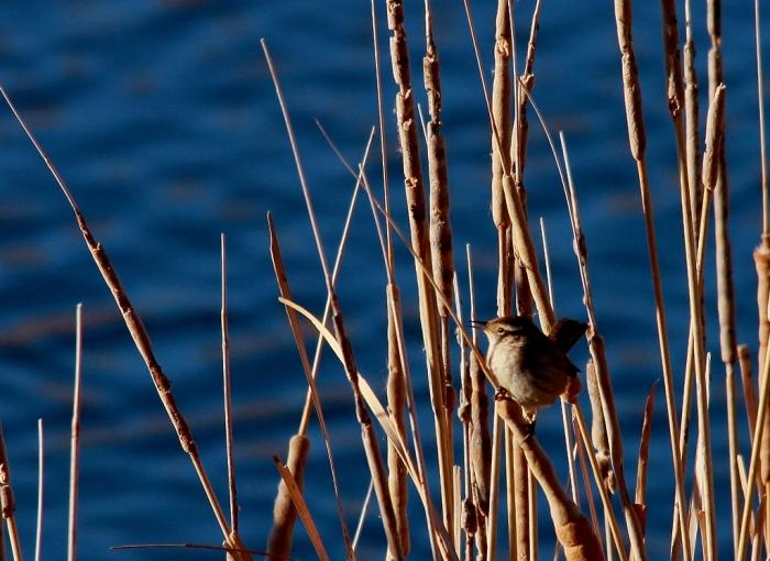 Marsh Wren (4) (1024x747)