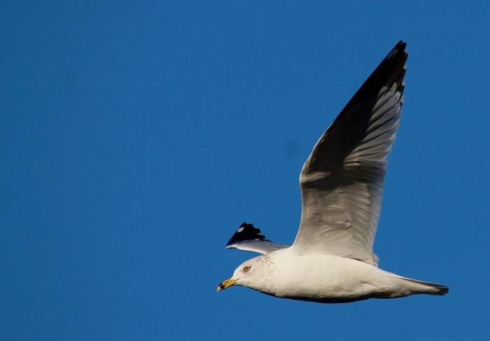 Ring-billed Gull (35) (1024x713)