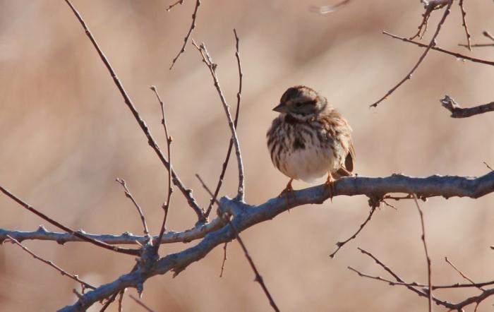 Song Sparrow (50) (1024x647)