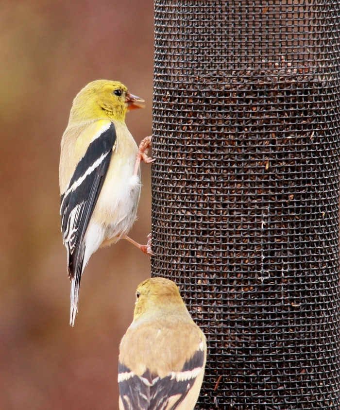 American Goldfinch (10) (849x1024) (849x1024)