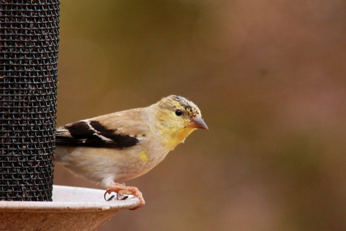 American Goldfinch (4) (1024x684) (1024x684)