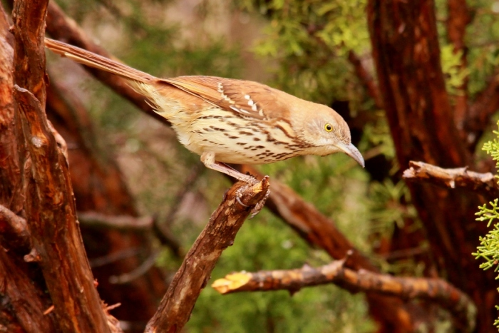 Brown Thrasher (2) (1024x684) (1024x684)