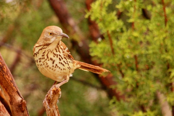 Brown Thrasher (4) (1024x684) (1024x684)