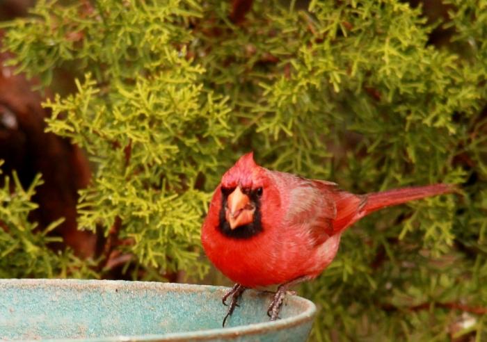 Northern Cardinal (1024x720) (1024x720)