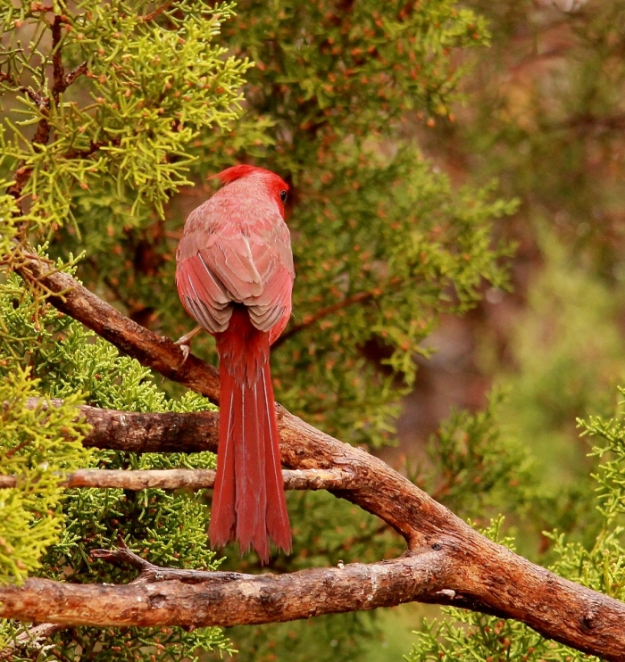 Northern Cardinal (12) (965x1024) (965x1024)