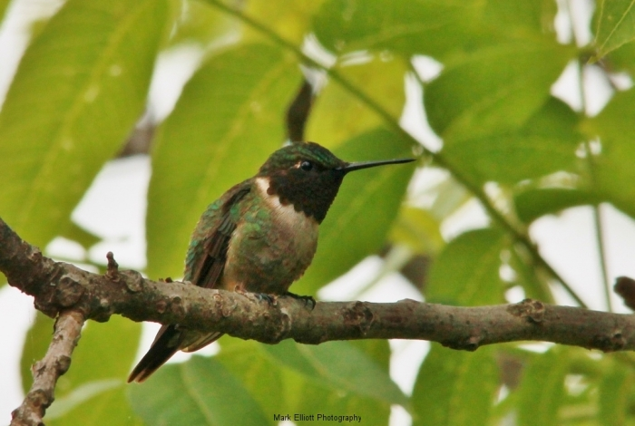 Ruby-throated-Hummingbird-8-1024x688