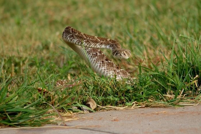 Western Diamondback Rattlesnake (6) (1024x684)