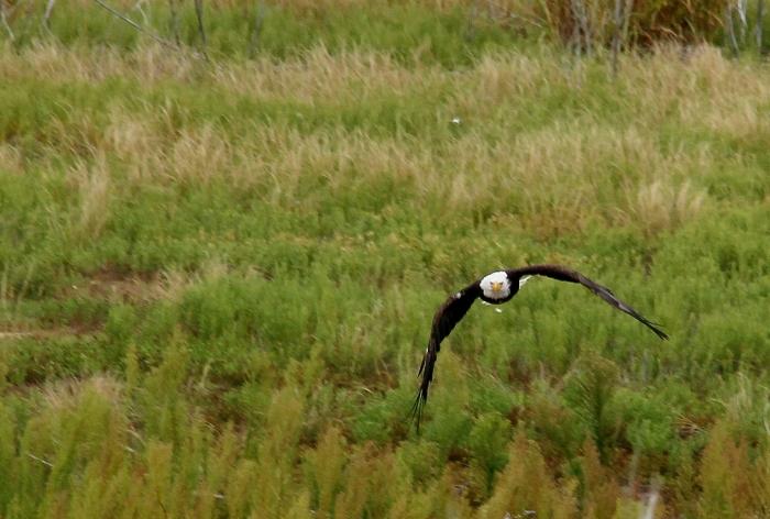 Bald Eagle (10)