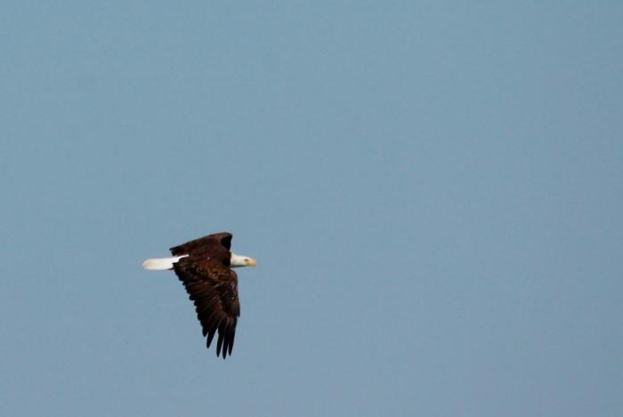 Bald Eagle (1024x686)