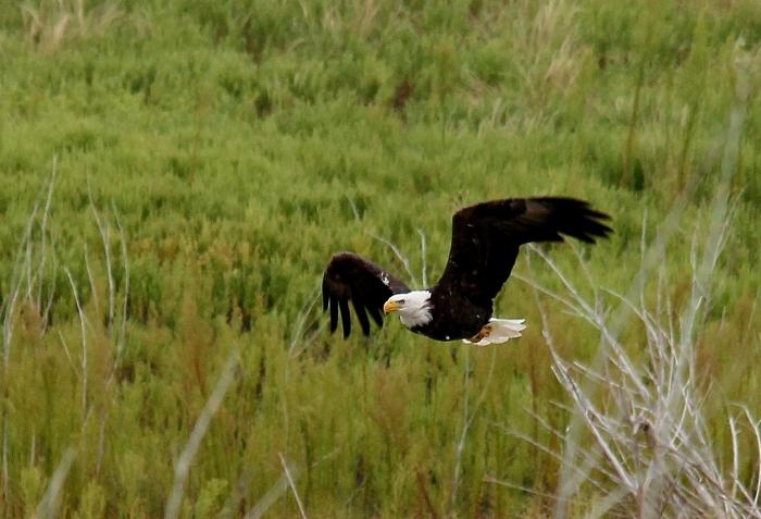 Bald Eagle (18)