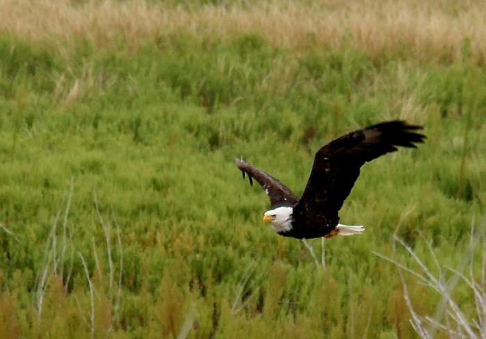 Bald Eagle (19)