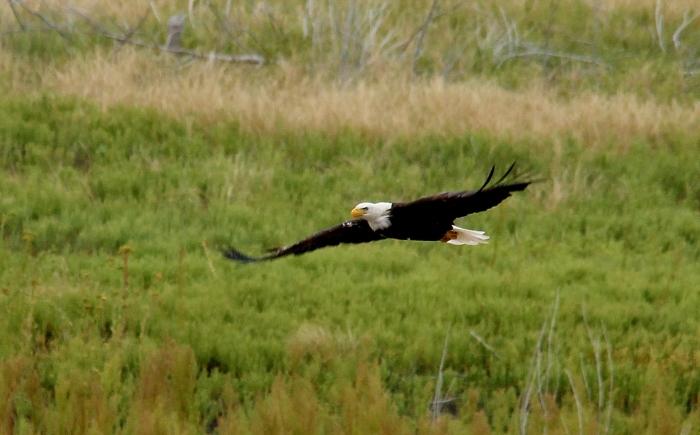 Bald Eagle (22)