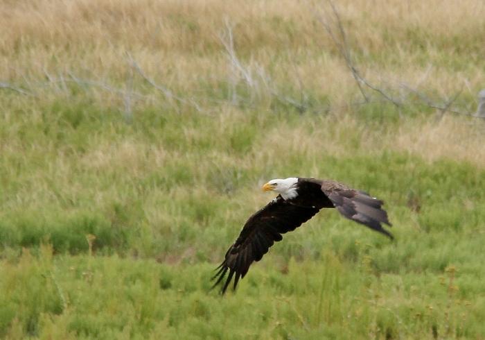 Bald Eagle (24)
