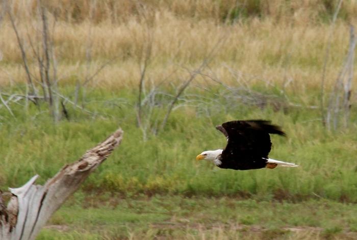 Bald Eagle (27)
