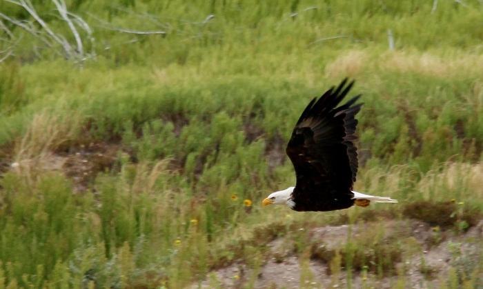 Bald Eagle (29)