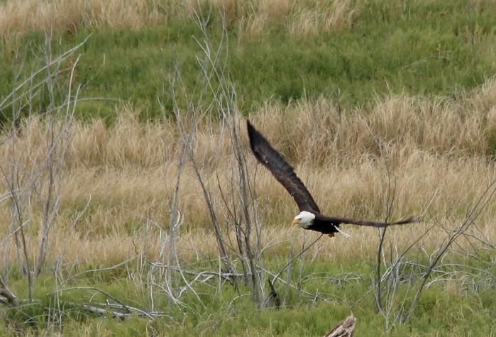 Bald Eagle (5)