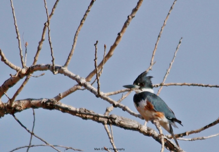 Belted-Kingfisher-38-1024x712