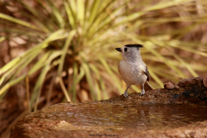 Black-crested-Titmouse-3-1024x684