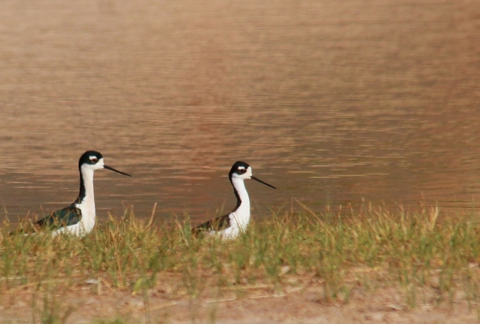 Black-necked Stilt (12) (1024x693)