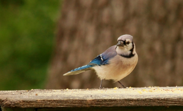 Blue Jay (56) (1024x620)