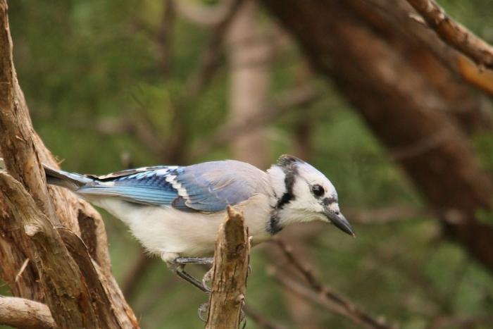 Blue Jay (58) (1024x684)