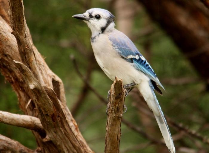 Blue Jay (62) (1024x754)