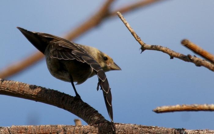 Brown-headed Cowbird juvenile (4) (1024x642)