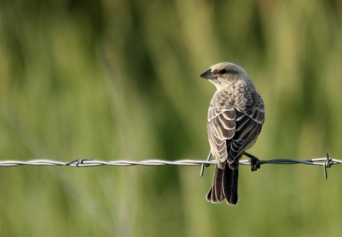 Brown-headed Cowbird juvenile (5) (1024x710)