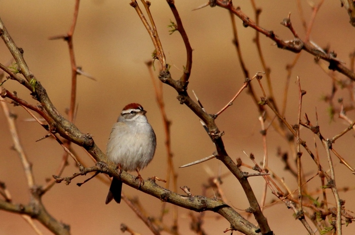 Chipping Sparrow (6) (1024x680)