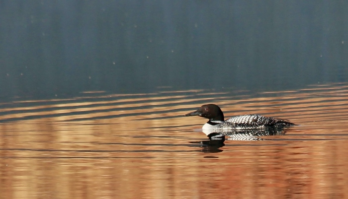 Common Loon (17) (1024x587)