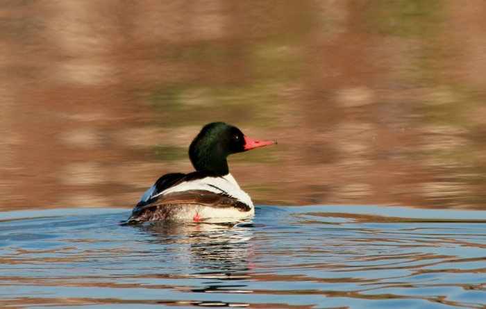 Common Merganser (15) (1024x652)