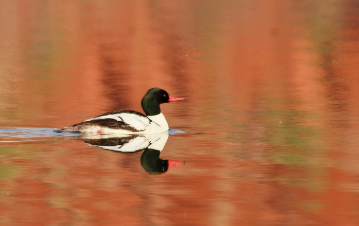 Common Merganser (18) (1024x644)