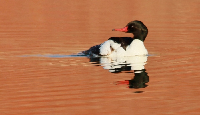 Common Merganser (20) (1024x589)