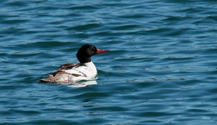 Common Merganser (22) (1024x593)
