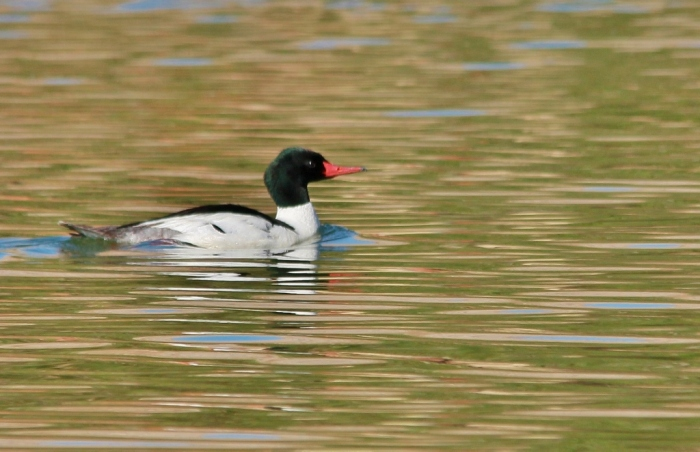 Common Merganser (5) (1024x662)