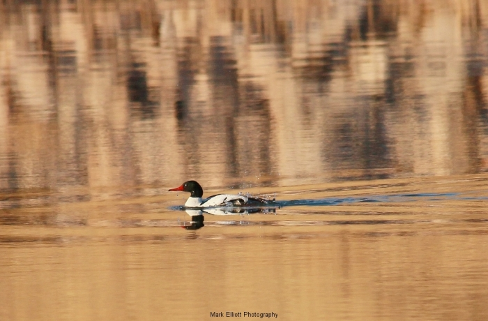 Common-Merganser-69-1024x673
