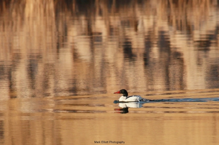 Common-Merganser-70-1024x678