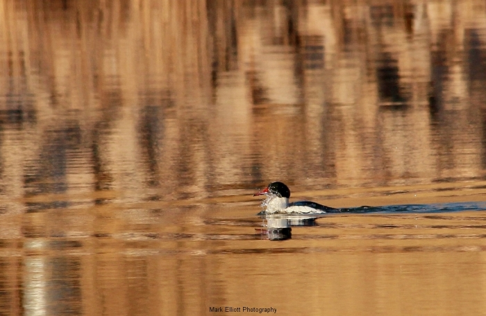 Common-Merganser-71-1024x668