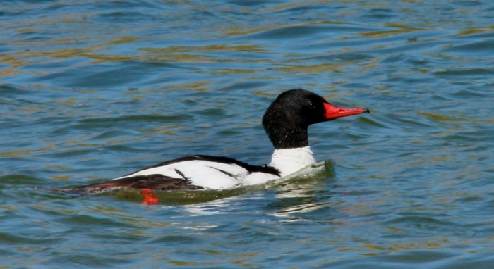 Common Merganser (8) (1024x560)