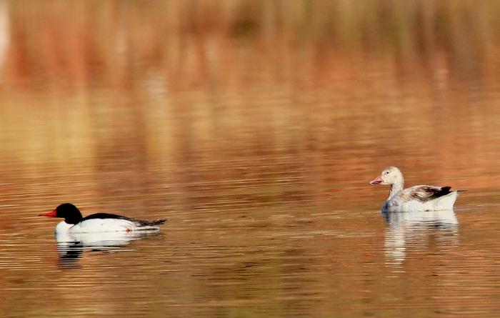 Common Merganser and Snow goose (1024x652)
