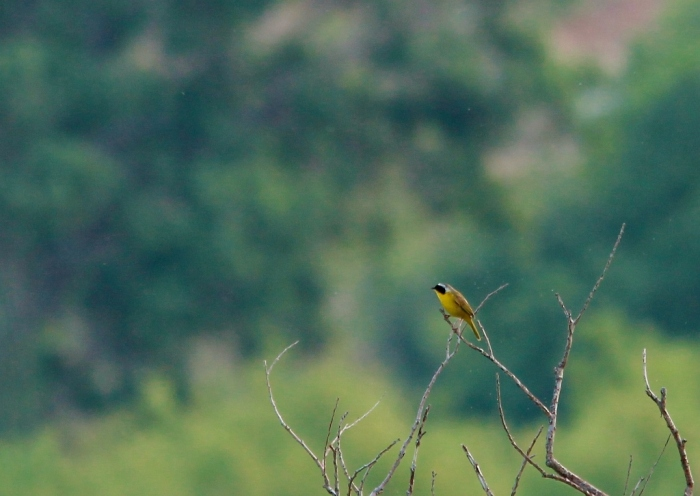 Common Yellowthroat (15) (1024x726)