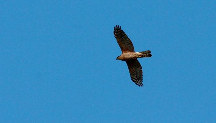 Cooper's Hawk (1024x584)
