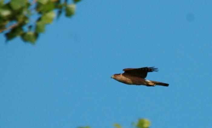 Cooper's Hawk (6) (1024x620)