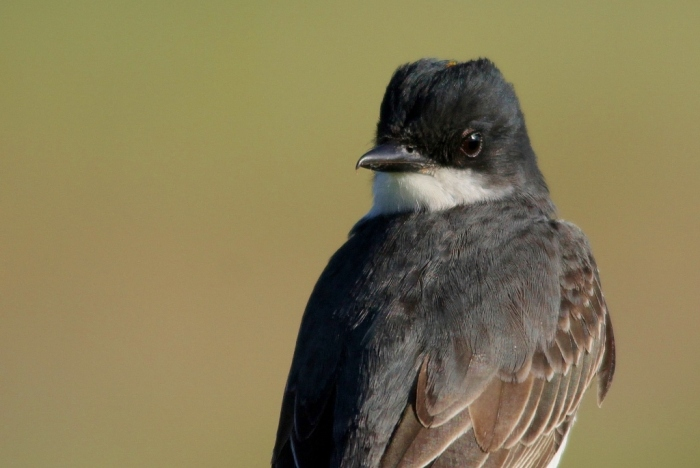 Eastern Kingbird (3) (1024x686)