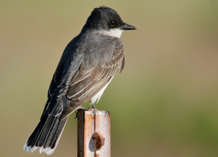 Eastern Kingbird (5) (1024x738)