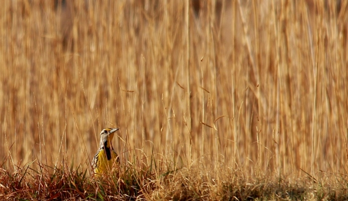 Eastern Meadowlark (8) (1024x593)