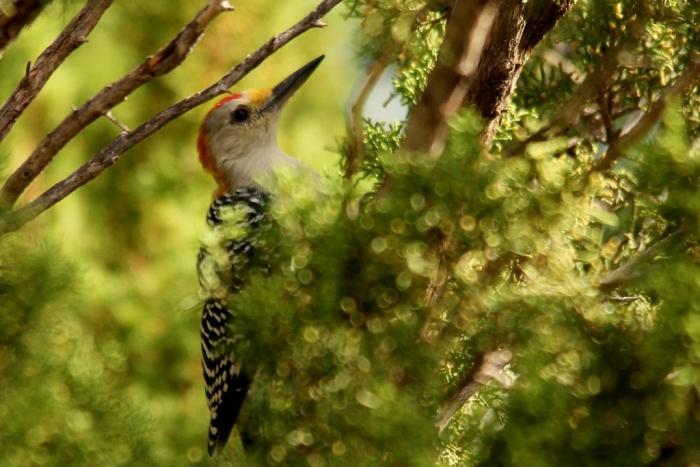 Golden-fronted Woodpecker (7) (1024x684)