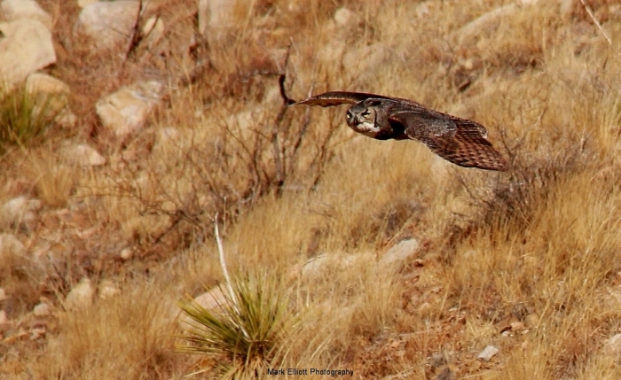 Great-Horned-Owl-37-1024x629
